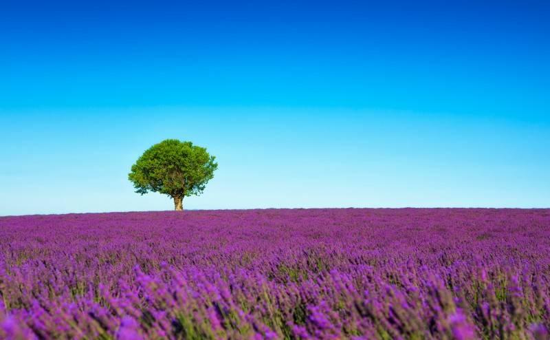 Лавандовые поля провинции Прованс, Франция